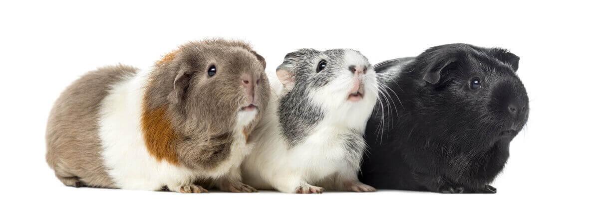 Meerschweinchen - drei