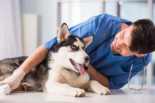 Pflege eines Hundes - Husky mit Herrchen