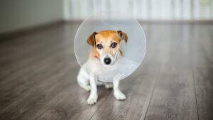 Postoperative Pflege - Hund mit Halskrause