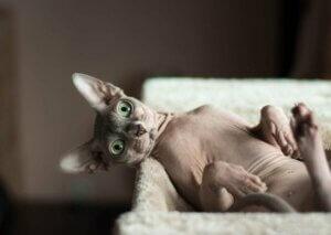 genetisch bedingte Erkrankungen - Katze