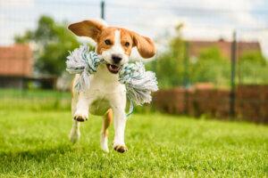 weglaufen - Beagle