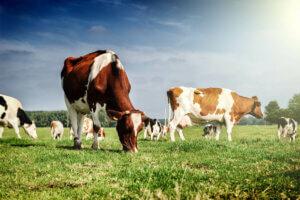 Akklimatisierungsfähigkeit - Kühe auf der Weide