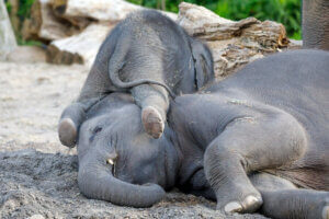 Asiatische Elefanten - liegende Elefanten