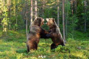 Auswirkungen des Klimawandels - kämpfende Bären