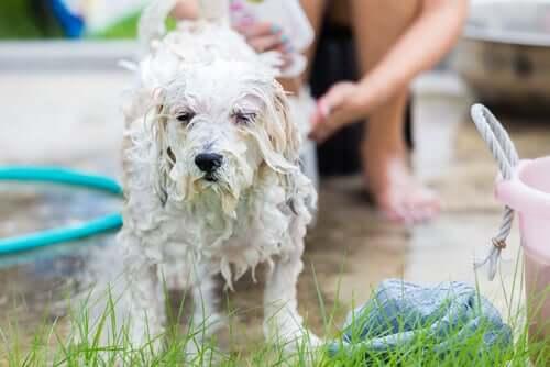 Pflege eines Hundes - Hund wird gebadet