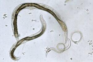 Fortpflanzung von Würmern - bei der Fortpflanzung