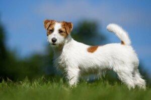 weglaufen - Jack Russel Terrier