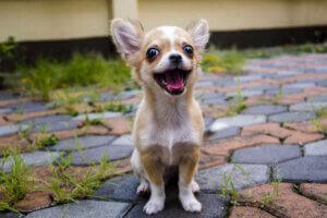 Chihuahua lächelnd