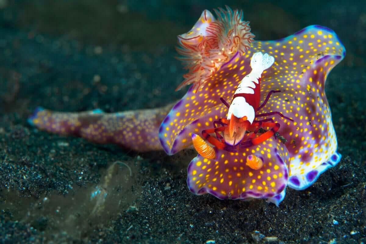 Das indonesische Ceratosoma lebt in Symbiose mit einer Kaisergarnele, die sie sauber hält