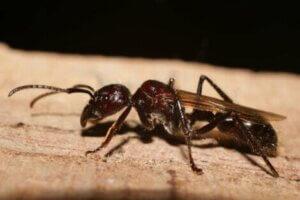 Diese Ameisen stechen durch ihre bemerkenswerte Größe hevor
