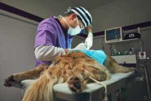 Leukämie bei Hunden: Hund auf dem OP-Tisch