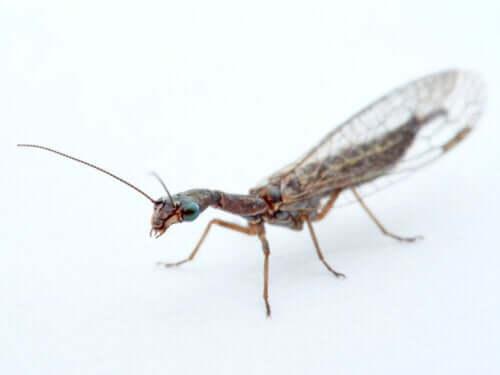 Biologische Schädlingsbekämpfung mit räuberischen Insekten
