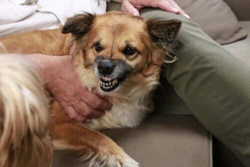 Hund aggressiv wird - Hund fletscht die Zähne