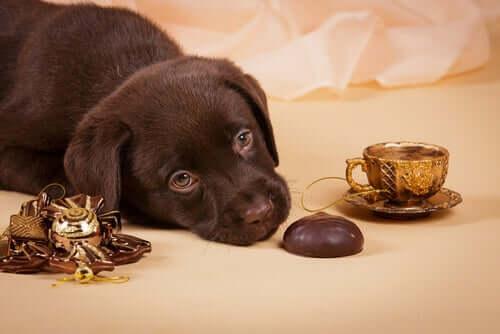 für Hunde giftig - Schokolade