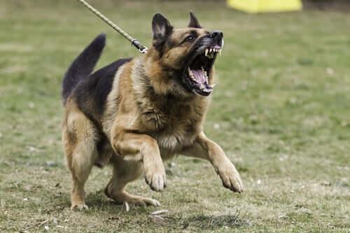 Hund aggressiv wird - angriffslustiger Schäferhund