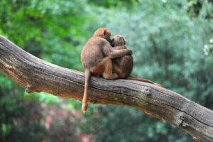 Mehrere Studien zeigten, dass Primaten Empathie empfinden