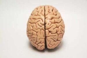 Die Gehirnhälften sind für die Lateralität verantwortlich.
