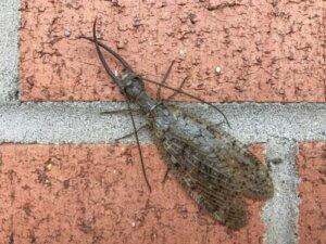 Die Corydalidae gehören zur Ordnung der Megaloptera