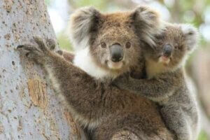 Koala- mit Jungtier