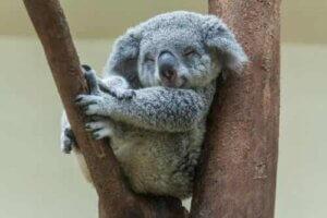 Koala - schläft im Baum