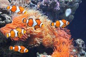 Meerwasseraquarium - Clownfische