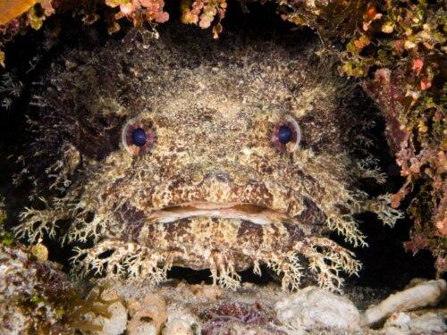 Der Lusitanische Krötenfisch: Lebensraum und Eigenschaften
