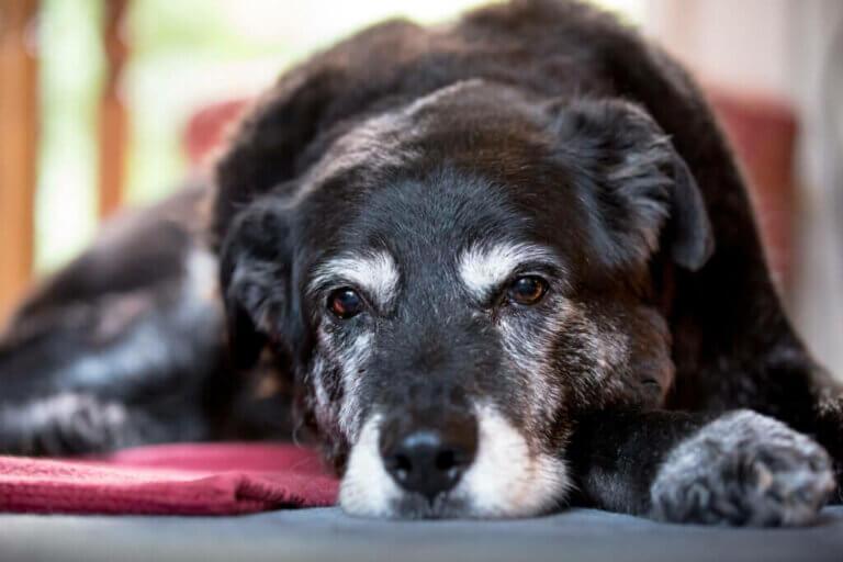 Senilität bei Hunden: So erkennst du sie!