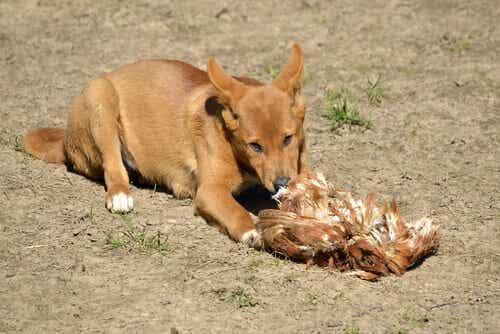Der Dingo ist das einzige plazentare Säugetier in Australien