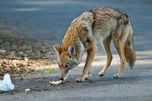 Der Kojote ist weniger als 60 Zentimeter hoch und extrem schlank