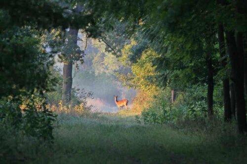 Ökologische Nachfolge - Reh in einem Wald