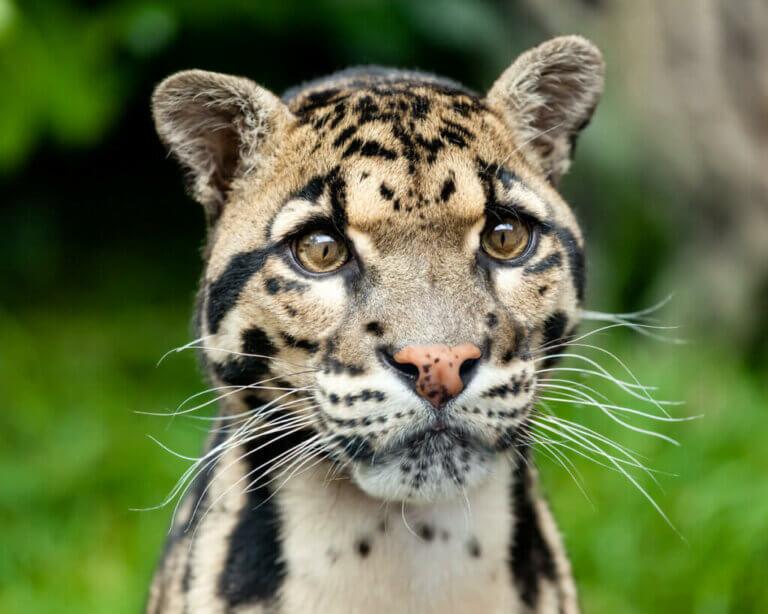 Wild- und Raubkatzen, die du vermutlich gar nicht kennst