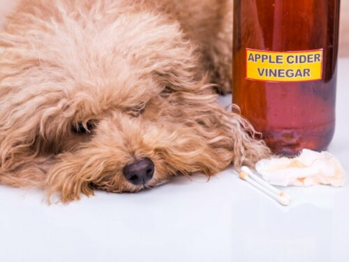Apfelessig für Hunde: Anwendungsbereiche und Vorteile