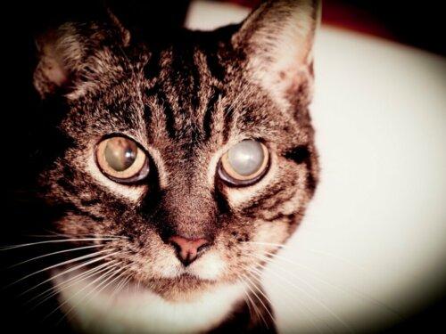 Grauer Star bei Katzen: Symptome und Behandlung