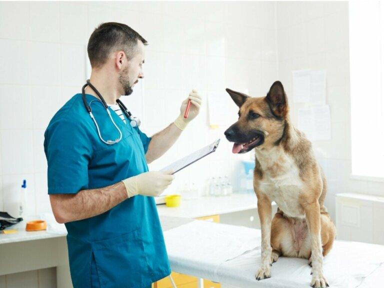 Hund mit Anämie - die richtige Pflege
