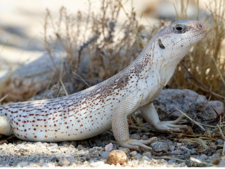 Wüstenleguan: Lebensraum und Eigenschaften