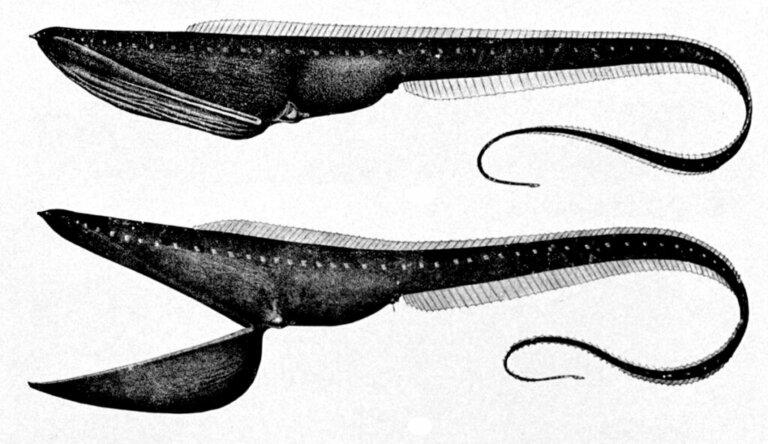 Pelikanaale: Merkmale, Lebensraum und Erhaltungszustand