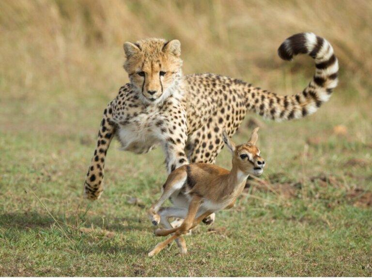Geparden und ihr Verhalten