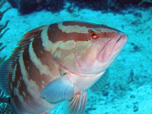 Der Nassau-Zackenbarsch: Lebensraum und Eigenschaften
