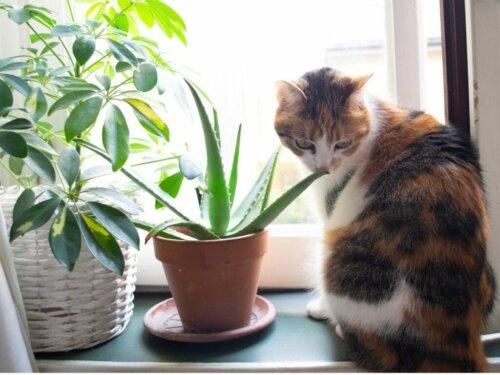 Aloe vera für Katzen: Anwendung und Vorteile