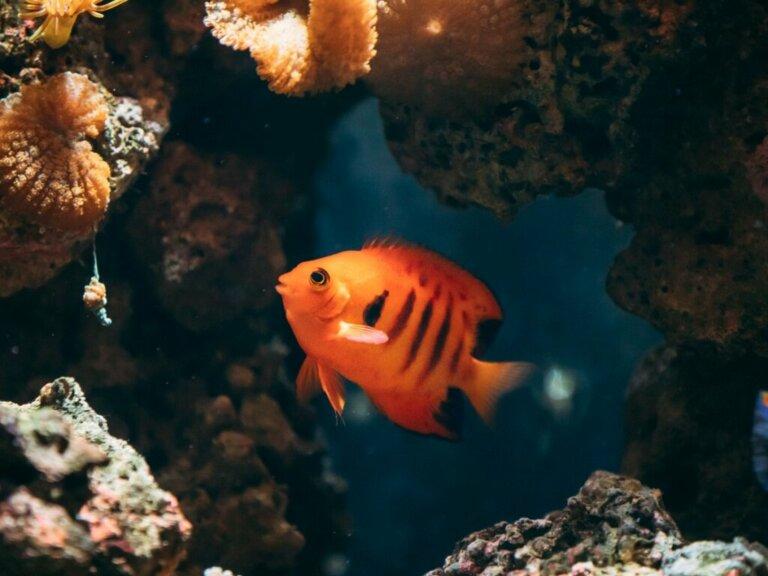 Flammen-Zwergkaiserfisch: Lebensraum, Besonderheiten und Haltung