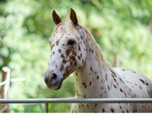 Das Appaloosa-Pferd: Herkunft und charakteristische Merkmale