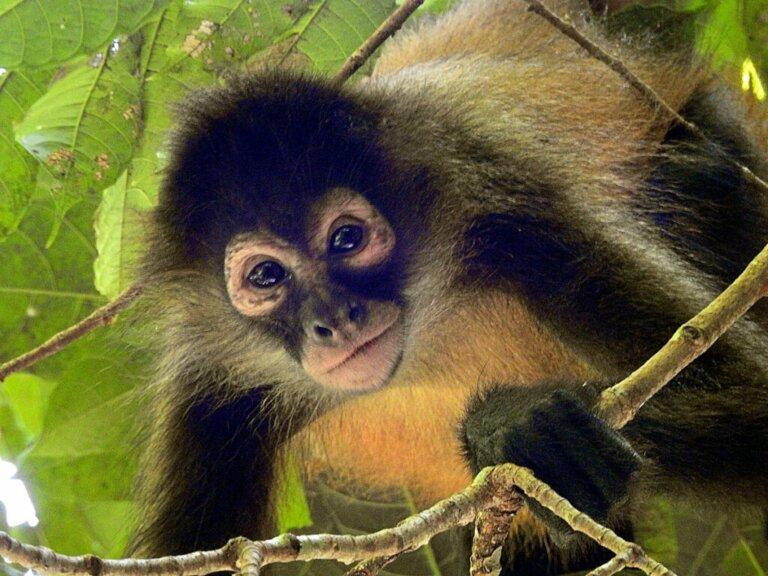 Die 25 am stärksten vom Aussterben bedrohten Primaten