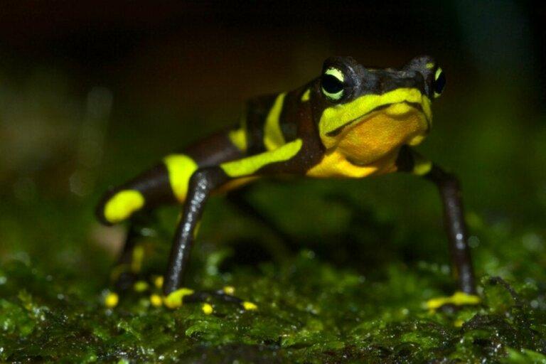 Der Harlekinfrosch: Lebensraum, Eigenschaften und Erhaltungszustand