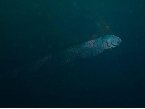 Riemenfisch: Lebensraum und Merkmale