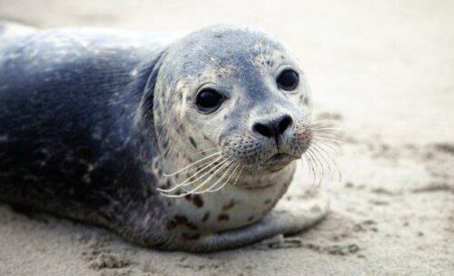 Robben: Einige Arten sind vom Aussterben bedroht