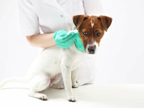 Paraphimose bei Hunden: Merkmale, Ursachen und Behandlung