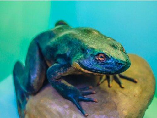 Goliathfrosch: Lebensraum und Eigenschaften