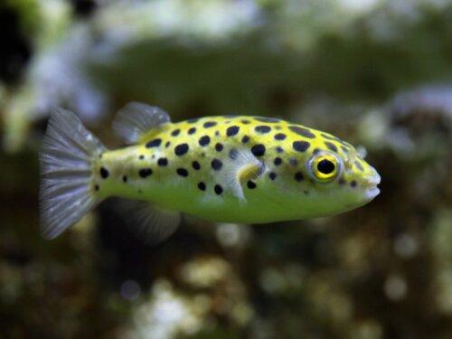 Zwergkugelfisch: Merkmale und Pflege