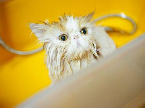 Eine Perserkatze baden: 6 hilfreiche Tipps!