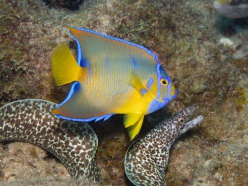 Königin-Kaiserfisch: Lebensraum und Eigenschaften